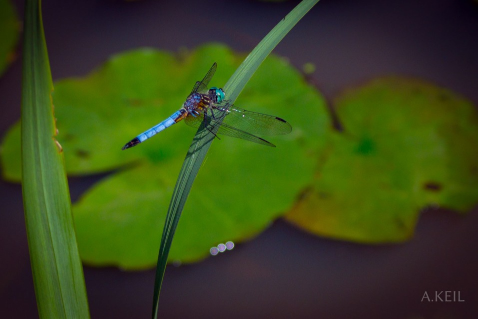 Kenilworth Aquatic Gardens Lily Lillies Dragonfly