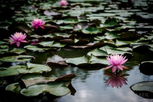 Kenilworth Aquatic Gardens Lily Lillies