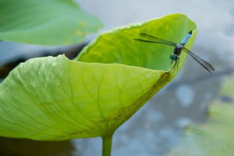 Kenilworth Aquatic Gardens Lily Dragonfly