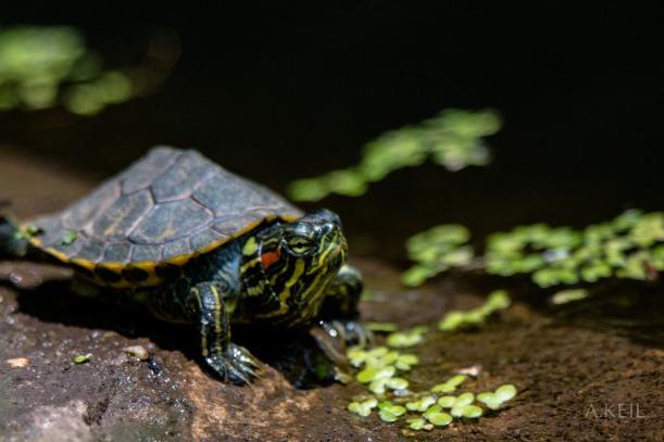 Kenilworth Aquatic Gardens Wildlife Turtle