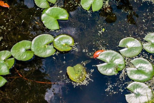Kenilworth Aquatic Gardens Lily