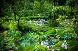 Kenilworth Aquatic Gardens Wildlife Bird