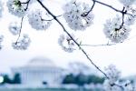 Cherry-Blossom-DC-Tidal-Basin-20160325-_DSC2681