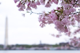 Cherry-Blossom-DC-Tidal-Basin-20160325-_DSC2726
