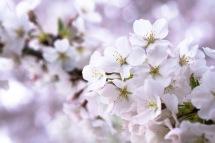 Cherry-Blossom-DC-Tidal-Basin-20160325-_DSC2730