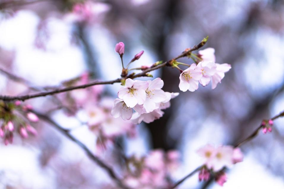 Cherry-Blossom-DC-Tidal-Basin-20160325-_DSC2733