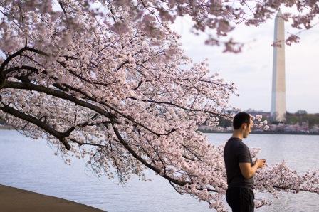Cherry-Blossom-DC-Tidal-Basin-20160325-_DSC2783