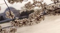 Cherry-Blossom-DC-Tidal-Basin-20160325-_DSC2816